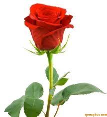 red_rose_59