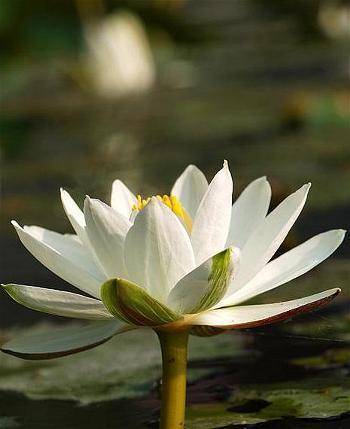 white_lotus_10
