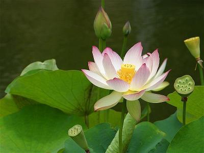 lotus_53